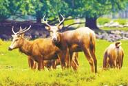 留洋麋鹿回家转 呦呦鹿鸣生态兴