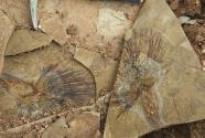 科学家通过棕榈叶化石揭开青藏高原年轻时的模样