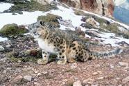 長江源區牧民助力科研人員首次發現雪豹固定種群動態變化情況