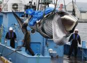 日本重启商业捕鲸,不止为了经?#32654;?#30410;