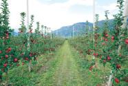 中国苹果产业面临转型之变