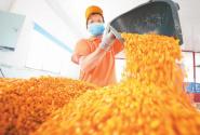 黃貢椒黃加工忙