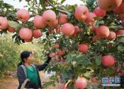 河北迁安:苹果丰收富农家