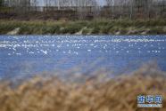 七里海湿地迎候鸟迁徙季