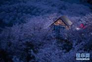貴州安順:櫻花美景促振興