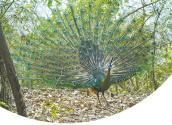 綠孔雀 小種群物種的大保護